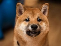 The Cryptonomist: Shiba Inu: price back to month-old levels