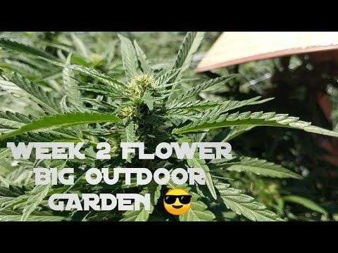 Austin Crypto Angler: Week 2 Flower Big Outdoor Marijuana Grow 2019