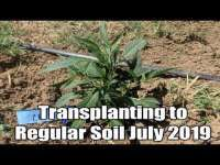 Austin Crypto Angler: Cannabis Outdoor easy transplant tips for rooted clones. Marijuana growers education